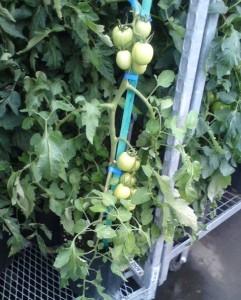 pieds de tomates du Marché Jean Talon à Montféal
