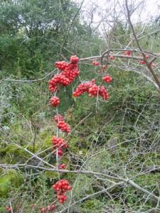 les fruits des baies rouges toxiques
