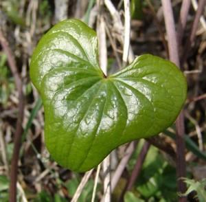feuille vert sombre en forme de coeur